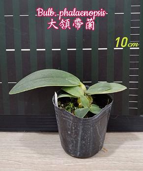 """Орхидея азиатская. Под Заказ! Bulb. phalaenopsis. Размер: 2.5""""., фото 2"""
