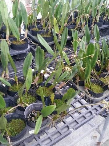 """Орхидея азиатская. Под Заказ! Bulb. rothschildianum. Размер: 2.5""""., фото 2"""