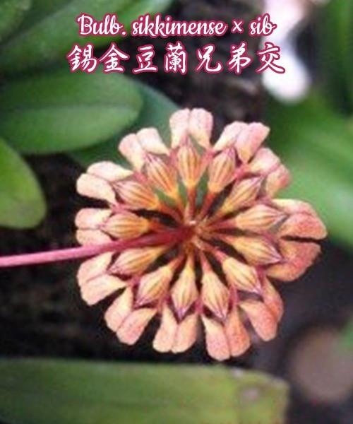 """Орхидея азиатская. Под Заказ! Bulb. sikkimense × sib. Размер: 2""""."""