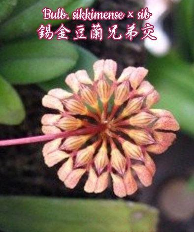 "Орхидея азиатская. Под Заказ! Bulb. sikkimense × sib. Размер: 2""., фото 2"