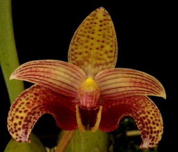 """Орхидея азиатская. Под Заказ! Bulb. sumatranum. Размер: 3""""."""