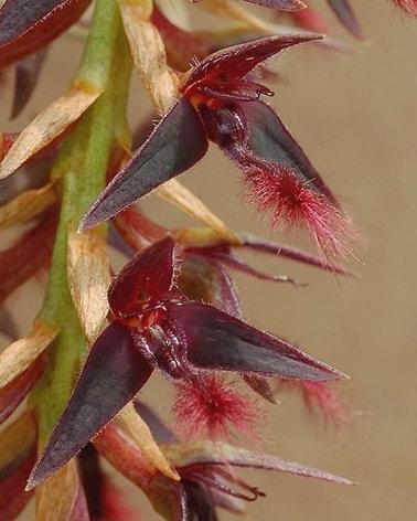 "Орхидея азиатская. Под Заказ! Bulb. tremulum. Размер: 2.5""., фото 2"