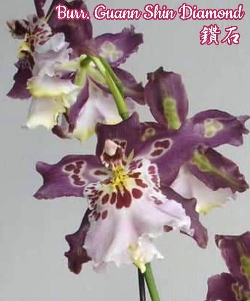 """Орхидея азиатская. Под Заказ! Burr. Guann Shin Diamond. Размер: 2.5""""."""