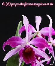 """Орхидея азиатская. Под Заказ! C. (L.) purpurata flamea-sanguinea × sib. Размер: 3""""."""