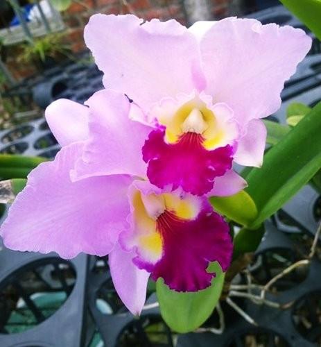 "Орхидея азиатская. Под Заказ! C. (Sophia Martin × Interglossa) × Lc. Mildred River ""125"". Размер: 3.5""."