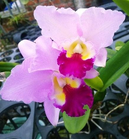 "Орхидея азиатская. Под Заказ! C. (Sophia Martin × Interglossa) × Lc. Mildred River ""125"". Размер: 3.5""., фото 2"