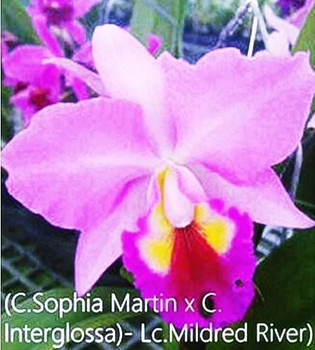 "Орхидея азиатская. Под Заказ! C. (Sophia Martin × Interglossa) × Lc. Mildred River ""117"". Размер: 3.5""."