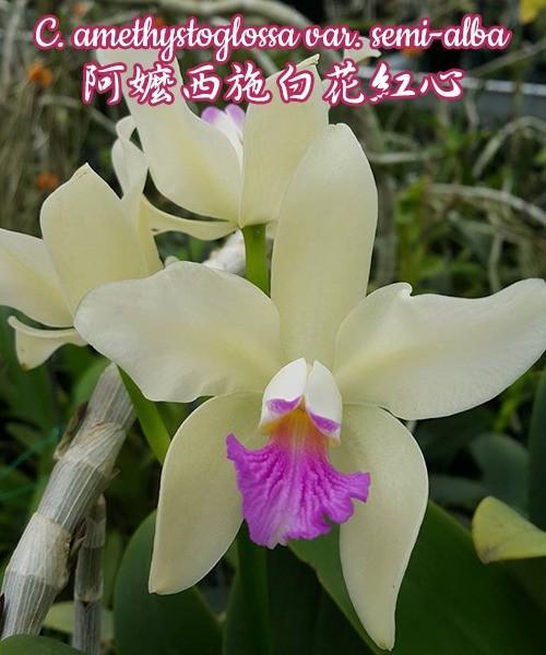 """Орхидея азиатская. Под Заказ! C. amethystoglossa var. semi-alba. Размер: 1.7""""."""