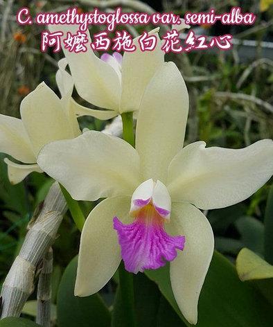 """Орхидея азиатская. Под Заказ! C. amethystoglossa var. semi-alba. Размер: 1.7""""., фото 2"""