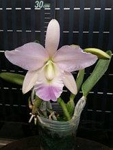 "Орхидея азиатская. Под Заказ! C. Biwa Blue Star (C. walkeriana × Lc. Kazuko Takamatsu). Размер: 3.5""."
