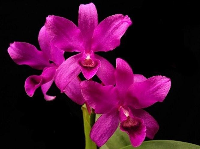 """Орхидея азиатская. Под Заказ! C. bowringiana var. red × self. Размер: 3""""."""