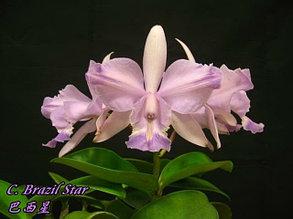 """Орхидея азиатская. Под Заказ! C. Brazil Star. Размер: 2.5""""."""