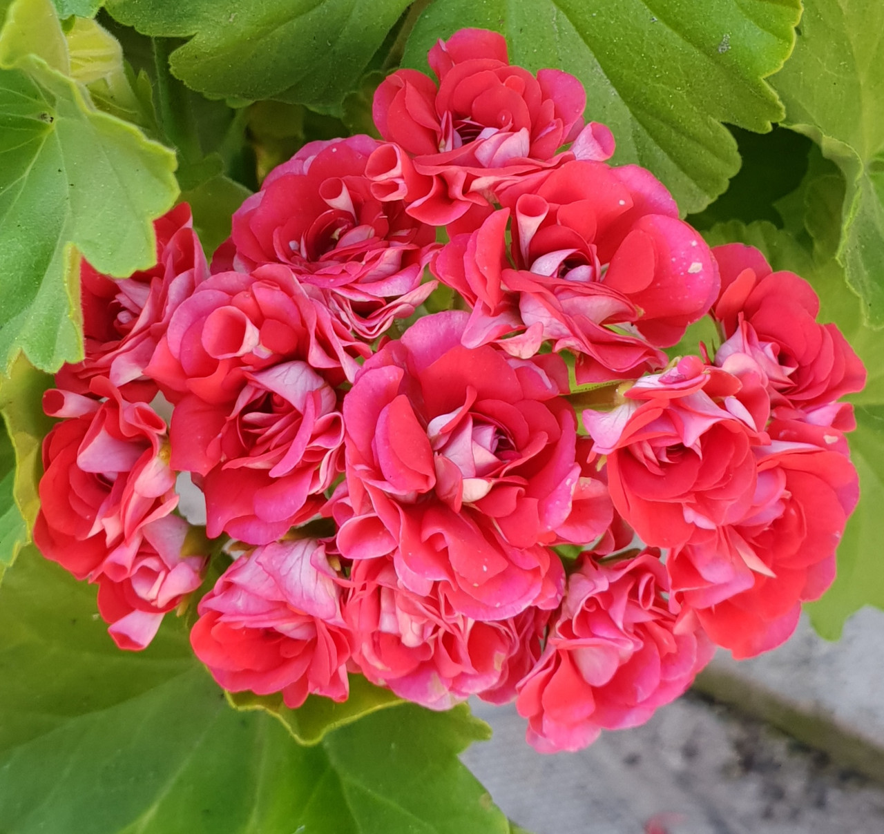 Rosebud Supreme /розебуд / укор.черенок