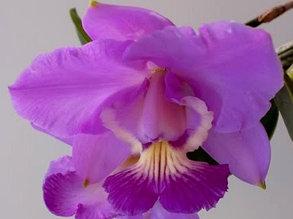 """Орхидея азиатская. Под Заказ! C. Brazilian Jewel. Размер: 2.5""""."""