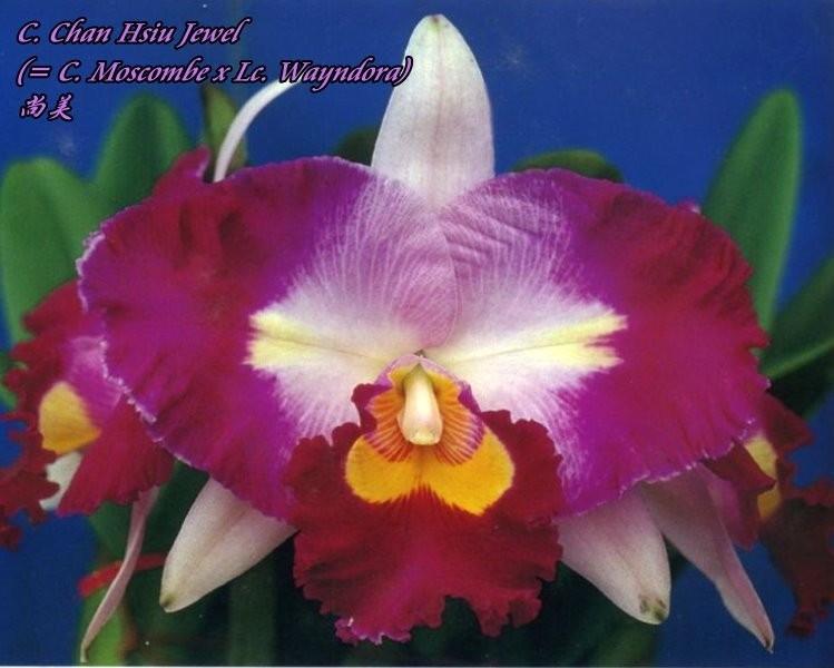 """Орхидея азиатская. Под Заказ! C. Chan Hsiu Jewel (C. Moscombe × Lc. Wayndora). Размер: 2.5""""."""