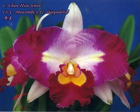 """Орхидея азиатская. Под Заказ! C. Chan Hsiu Jewel (C. Moscombe × Lc. Wayndora). Размер: 2.5""""., фото 2"""