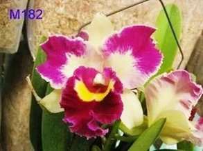"Орхидея азиатская. Под Заказ! C. Chen Hsiu Jewel × Rlc. Chunyeah. Размер: 3.5""."