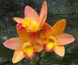 "Орхидея азиатская. Под Заказ! C. Chian-Tzy Sunset (C. Angiekoh × Ctt. Golden Wax). Размер: 2.5""."