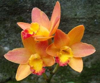 "Орхидея азиатская. Под Заказ! C. Chian-Tzy Sunset (C. Angiekoh × Ctt. Golden Wax). Размер: 2.5""., фото 2"