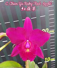 """Орхидея азиатская. Под Заказ! C. Chien Ya Ruby """"Red Apple"""". Размер: 2.5""""."""