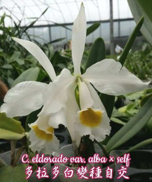 """Орхидея азиатская. Под Заказ! C. eldorado var. alba × self. Размер: 2""""."""