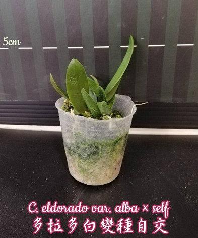 """Орхидея азиатская. Под Заказ! C. eldorado var. alba × self. Размер: 2""""., фото 2"""