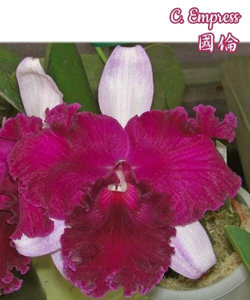 """Орхидея азиатская. Под Заказ! C. Empress. Размер: 2.5""""."""