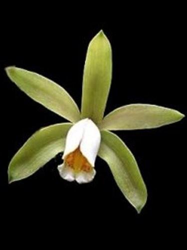 "Орхидея азиатская. Под Заказ! C. forbesii × sib. Размер: 3""."