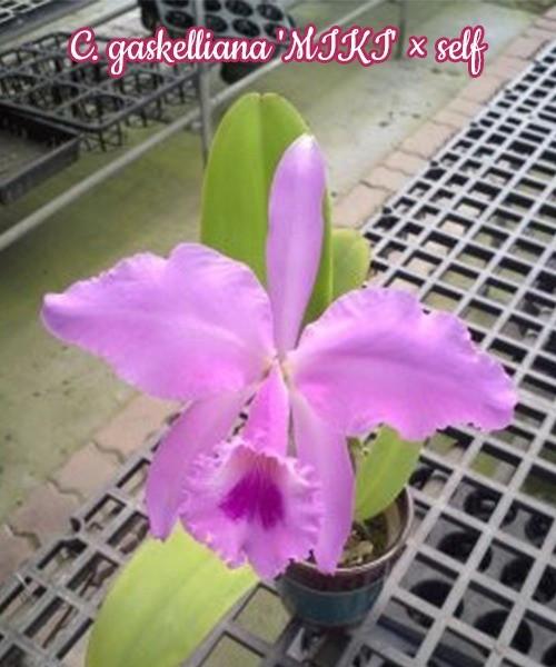 "Орхидея азиатская. Под Заказ! C. gaskelliana ""MIKI"" × self. Размер: 3""."