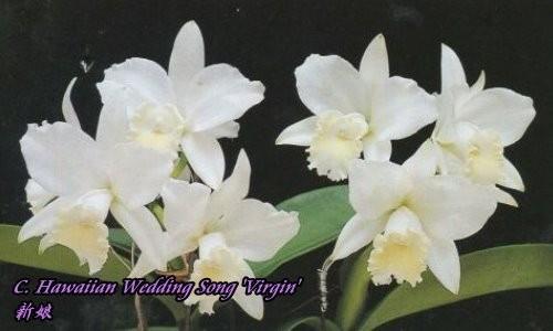 """Орхидея азиатская. Под Заказ! C. Hawaiian Wedding Song """"Virgin"""". Размер: 2.5""""."""