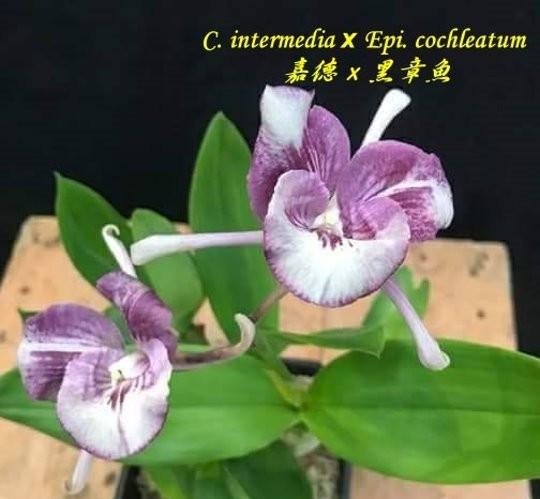 "Орхидея азиатская. Под Заказ! C. intermedia × Epi. cochleatum. Размер: 2.5""."