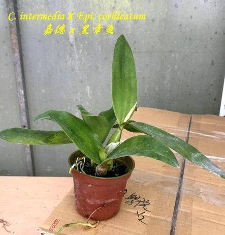 """Орхидея азиатская. Под Заказ! C. intermedia × Epi. cochleatum. Размер: 2.5""""., фото 2"""