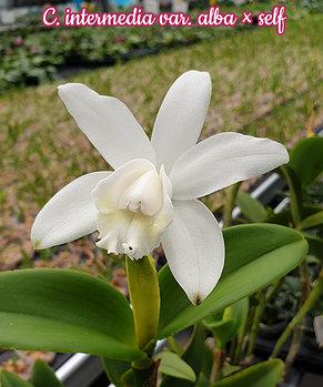 """Орхидея азиатская. Под Заказ! C. intermedia var. alba × self. Размер: 3""""., фото 2"""