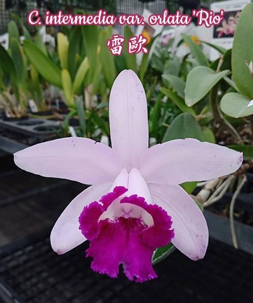 """Орхидея азиатская. Под Заказ! C. intermedia var. orlata """"Rio"""". Размер: 3""""."""