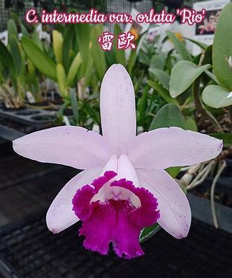 """Орхидея азиатская. Под Заказ! C. intermedia var. orlata """"Rio"""". Размер: 3""""., фото 2"""