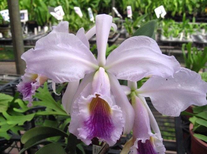 """Орхидея азиатская. Под Заказ! C. jenmanii var. coerulea × sib. Размер: 3""""."""