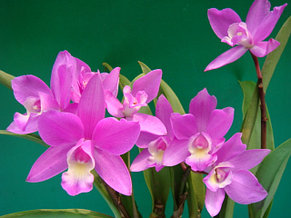 "Орхидея азиатская. Под Заказ! C. Kermes Beauty. Размер: 2.5""., фото 2"