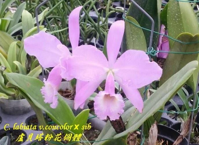Орхидея азиатская. Под Заказ! C. labiata v.concolor × sib. Размер: flask.
