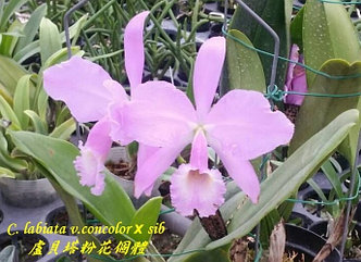 Орхидея азиатская. Под Заказ! C. labiata v.concolor × sib. Размер: flask., фото 2