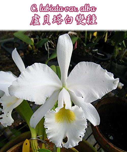 """Орхидея азиатская. Под Заказ! C. labiata var. alba × self. Размер: 2.5""""."""
