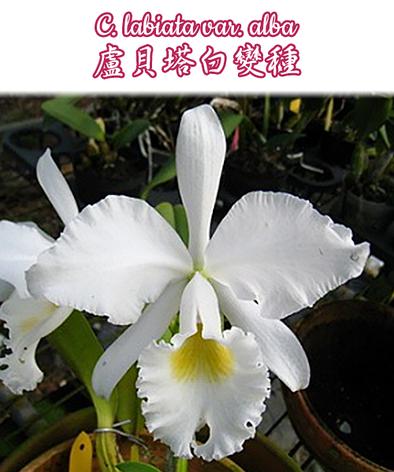 """Орхидея азиатская. Под Заказ! C. labiata var. alba × self. Размер: 2.5""""., фото 2"""