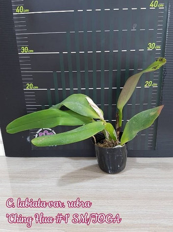 "Орхидея азиатская. Под Заказ! C. labiata var. rubra ""Ching Hua #1"" SM/TOGA. Размер: 3.5""., фото 2"