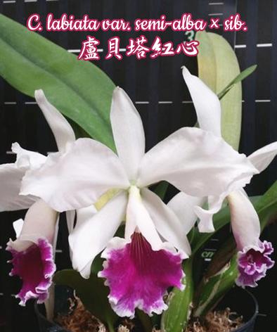 """Орхидея азиатская. Под Заказ! C. labiata var. semi-alba × sib. Размер: 1.7""""., фото 2"""