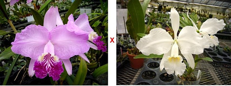 "Орхидея азиатская. Под Заказ! C. lueddemanniana × sib (alba × ""Richfield""). Размер: 3""., фото 2"