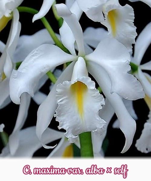 """Орхидея азиатская. Под Заказ! C. maxima var. alba × self. Размер: 2""""."""