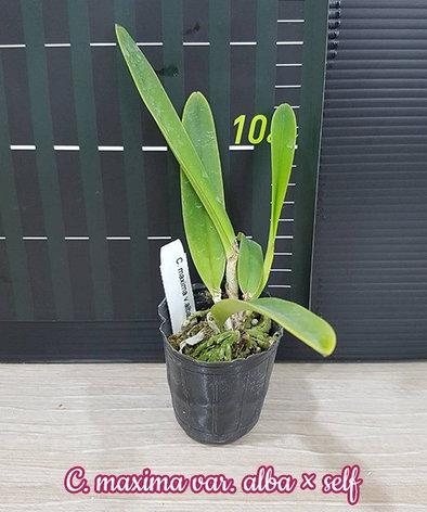 """Орхидея азиатская. Под Заказ! C. maxima var. alba × self. Размер: 2""""., фото 2"""