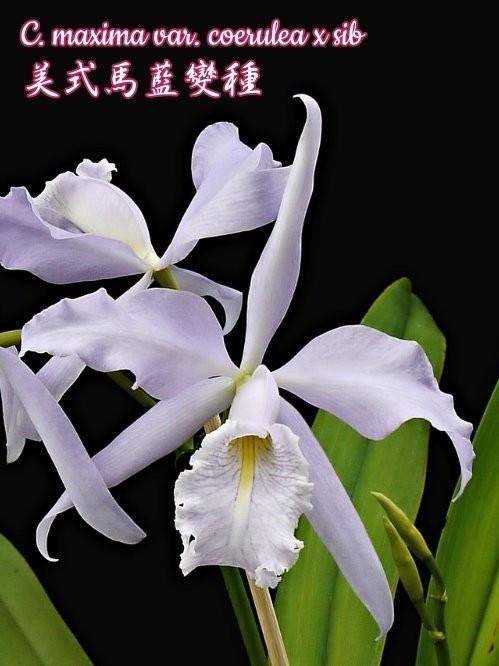 """Орхидея азиатская. Под Заказ! C. maxima var. coerulea × sib. Размер: 2""""."""
