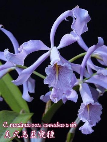 """Орхидея азиатская. Под Заказ! C. maxima var. coerulea × sib. Размер: 2""""., фото 2"""