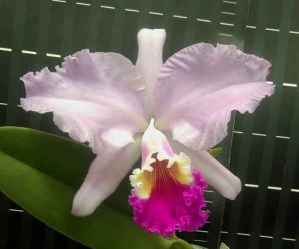 """Орхидея азиатская. Под Заказ! C. mendelii (pink) × self. Размер: 3.5""""."""