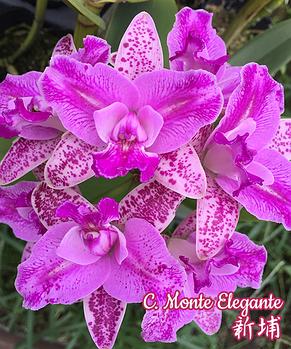 "Орхидея азиатская. Под Заказ! C. Monte Elegante. Размер: 3.5"" / 4.5""., фото 2"